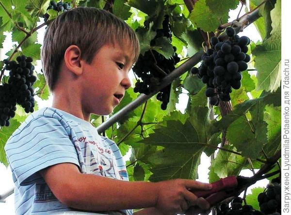 дача, виноград, дети