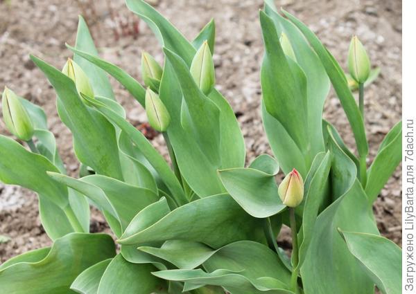 зацветающие тюльпаны