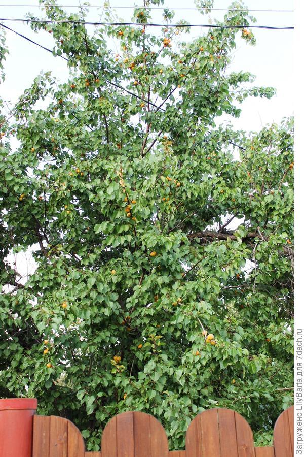 абрикосина