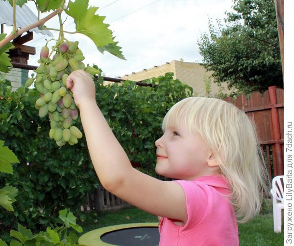 лиса и виноград