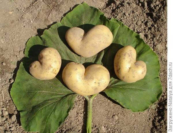 Любите ли Вы картошку, также как она любит Вас?