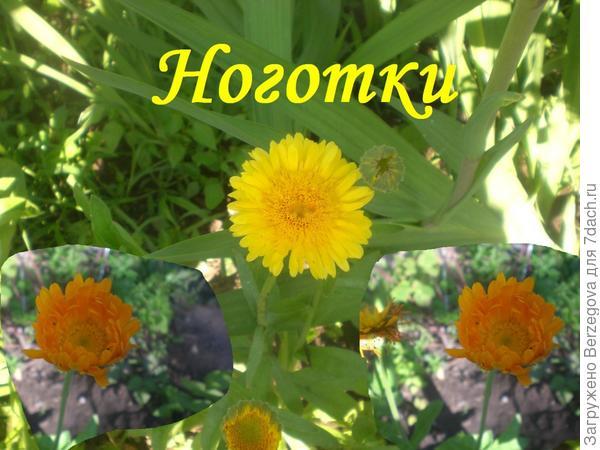 Календула-нужный и полезный цветок на даче.