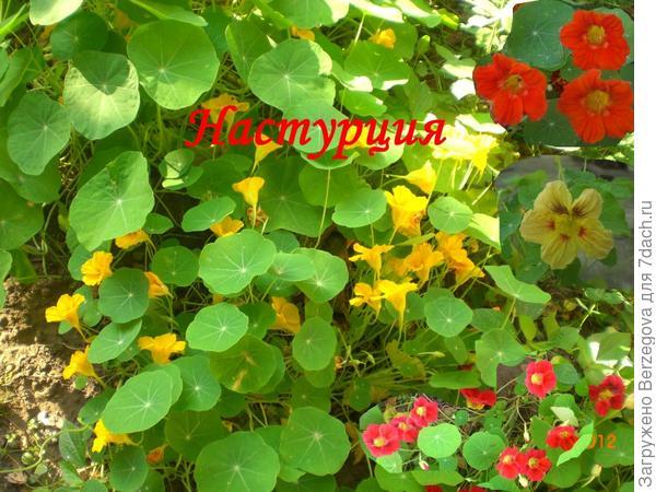 Настурция- красота и защита в саду.