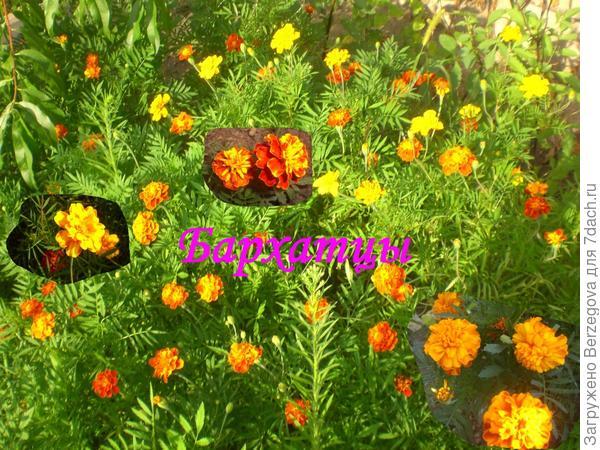 Бархатцы, или махровое чудо у Вас в саду.