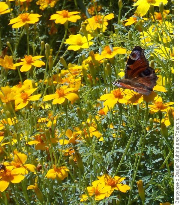 Бабочки на даче