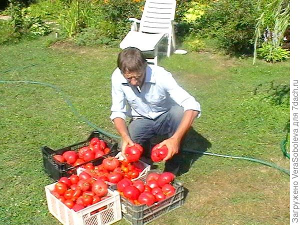 Вот такие помидоры!