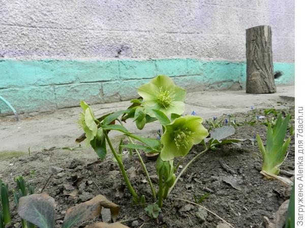 Первые цветочки у нас на даче