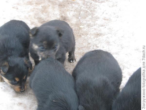 Февральские щенки