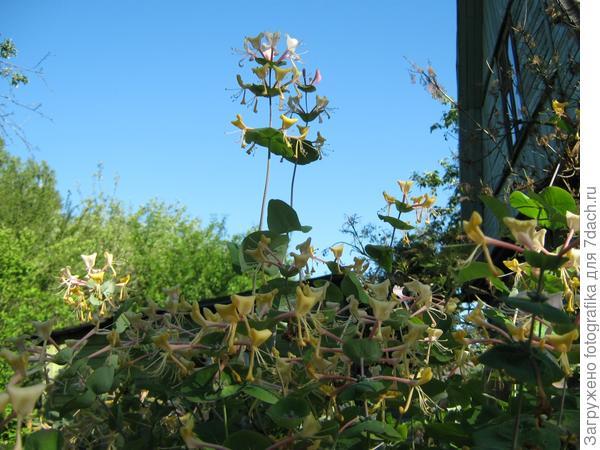 Цветет жимолость
