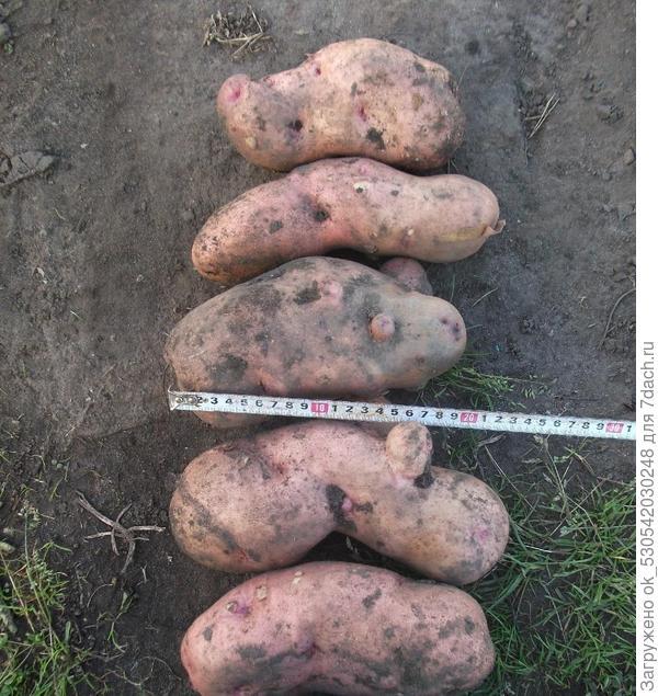 Супер картошка.