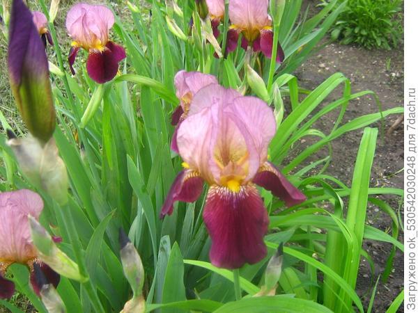 Пора цветения ИРИСОВ,