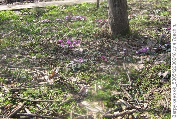 Цикломены весной.