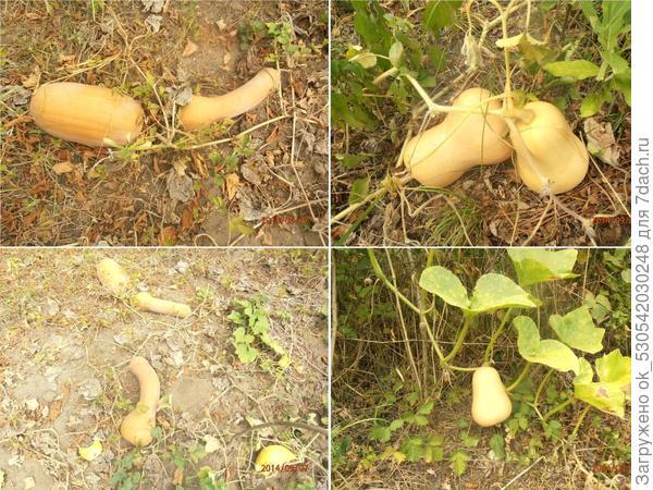 Урожай тыквы.
