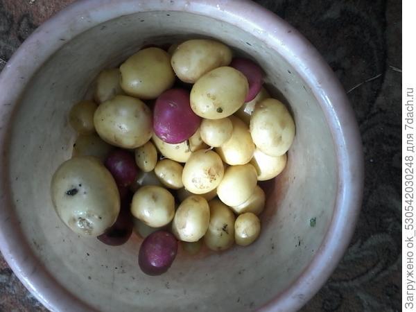 Первая картошечка.