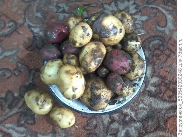 Картошка.