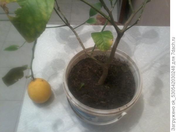 Лимон был на даче летом, с сорняками.
