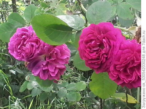 А вот и розы
