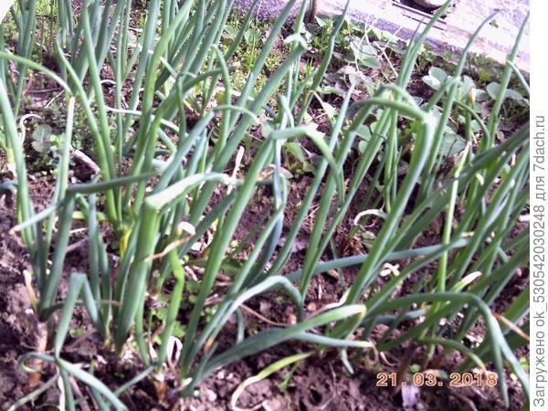 Многоярусный лук весной