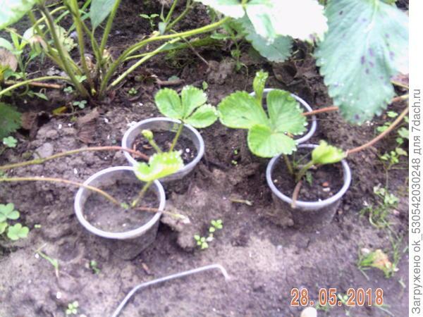 Усы земляники для размножения