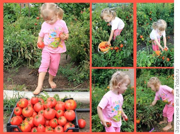 Марина собирает помидоры.