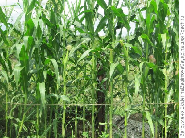 Кукуруза удалась, будем есть варёную!