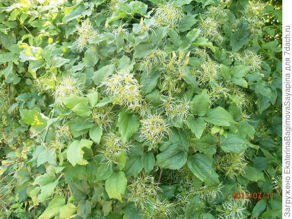 Третье растение.  Что это?