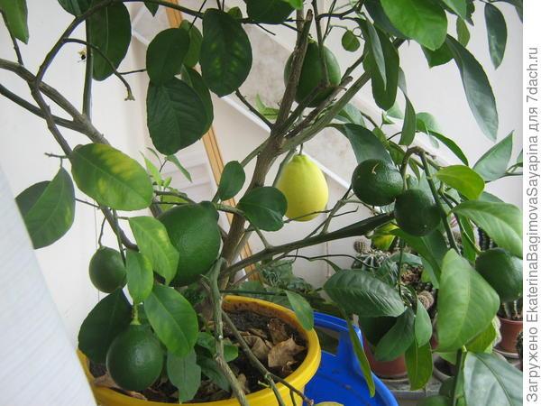 Мои лимоны