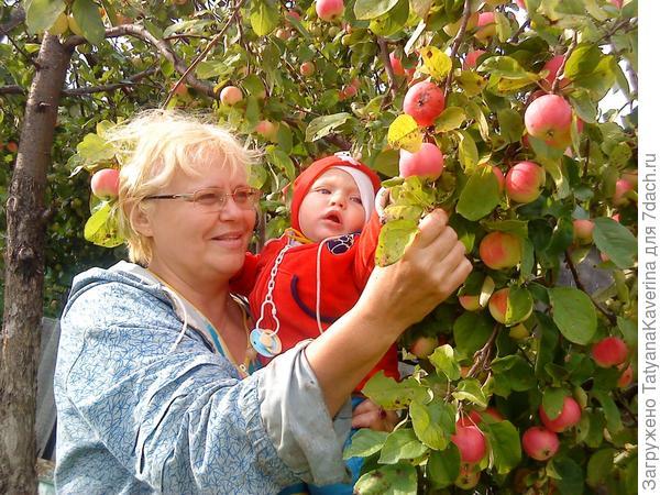 вот какие яблочки !
