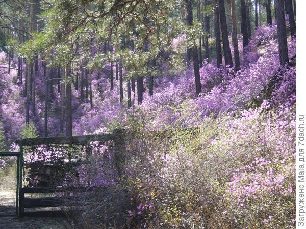Цветет рододендрон даурский за калиткой нашей дачи