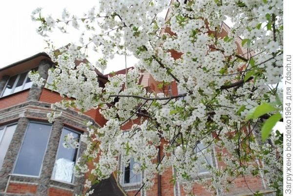 Время цветения вишни