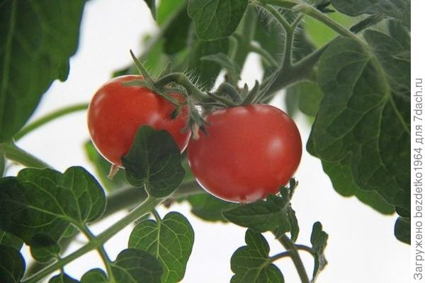 Многолетний помидор