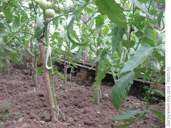Для чего обрывать нижние листья на томатах?