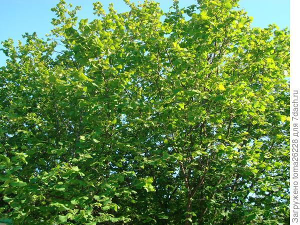 Зеленая листва ореха