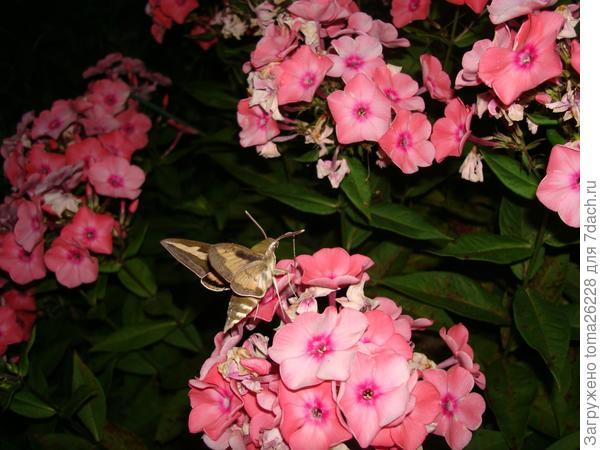 Бражник-ночная бабочка