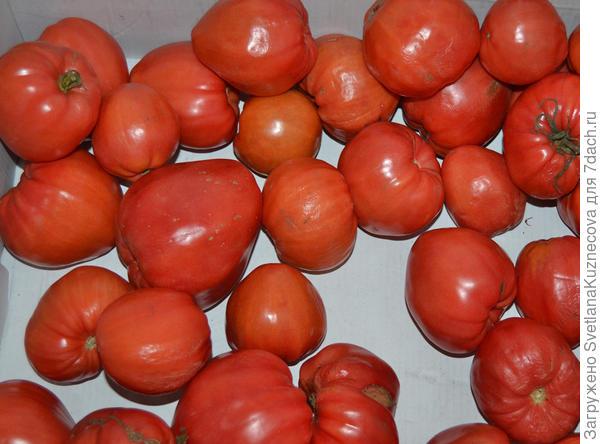 помидоры назрели
