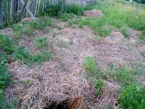 Вот так лежит солома. Видно, что картошка на участке растет. Видно, что травы очень мало, в основном вездесущий вьюнок. Так он и пахоты не боится.