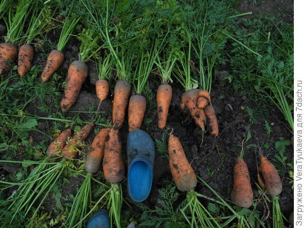 Морковка выросла на грядке, которую не копали 6 лет.