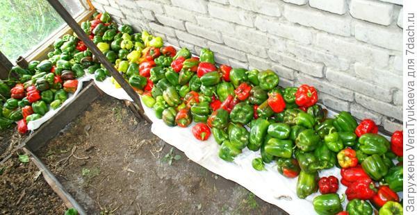 Сладкий перец, урожай 2011 года. Выращен в грунте. Алтай.