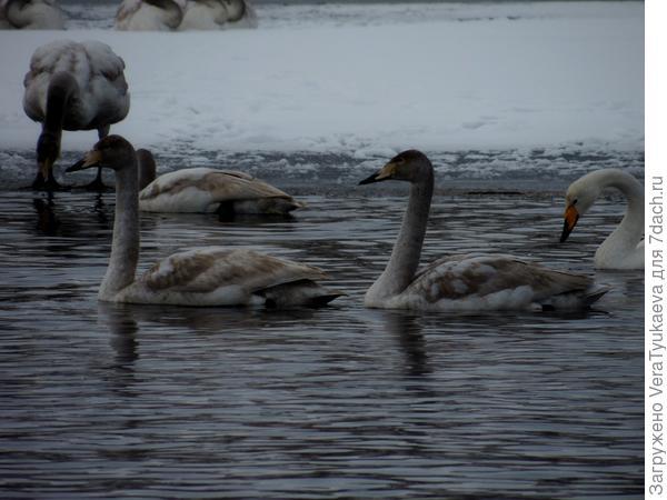 Молодые лебеди на Алтае. Зима 2014 - 2015