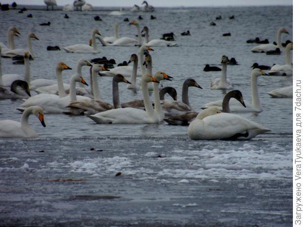 Лебеди на Алтае. Зима 2014 - 2015.