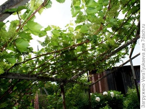 Виноград ягоды завязывает.