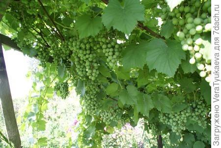 Зеленый незрелый виноград.