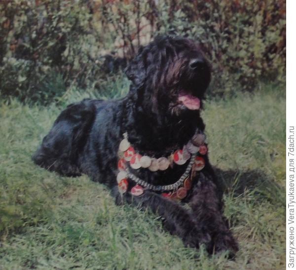 """Русский черный терьер. Разве кому-нибудь не хочется иметь такую собаку? Из книги Корнеева """"Слово о собаке""""."""