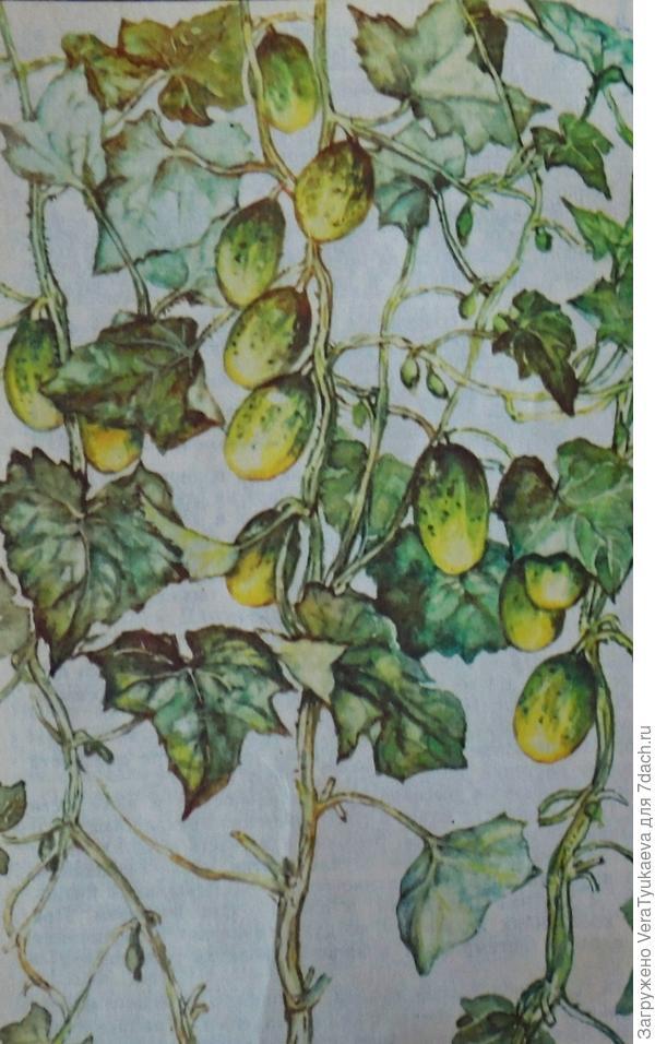 Так должно выглядеть маточное растение огурца.