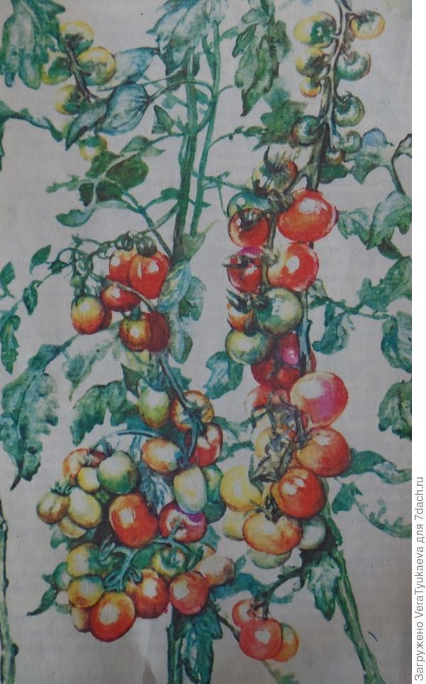 Та должны выглядеть маточные растения помидоров.