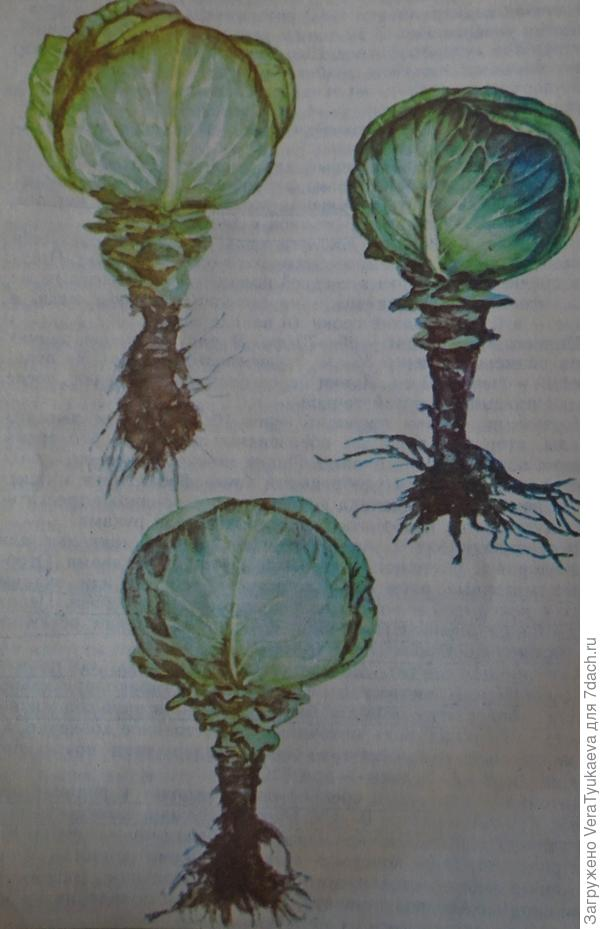 Так должны выглядеть маточные растения капусты перед закладкой на зимнее хранение.