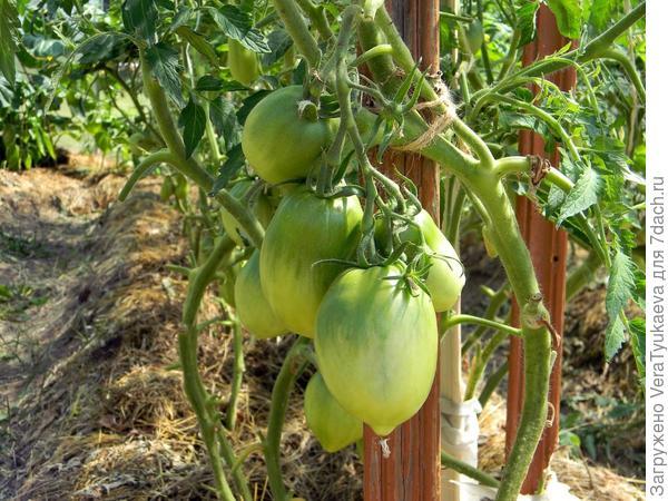 Куст с зелеными помидорами.