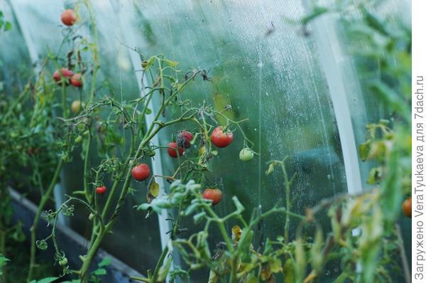 Кусты помидоров.