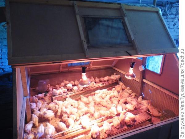 Сделать брудер для цыплят своими руками фото 714