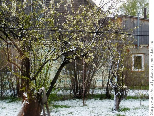 Слива в снегу.